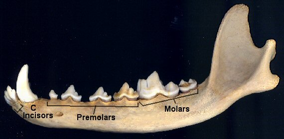 Lower jaw of a dog showing labeled dentition